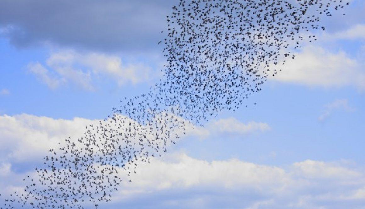 zwerm-vogels-vliegen-spreeuwen-wendbaar